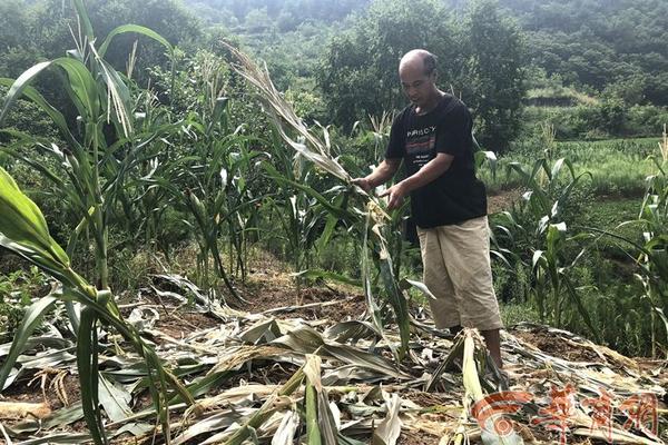 73岁儿子猎捕候鸟被抓 100岁老父亲:鸟吃粮食_台湾三分彩开奖网