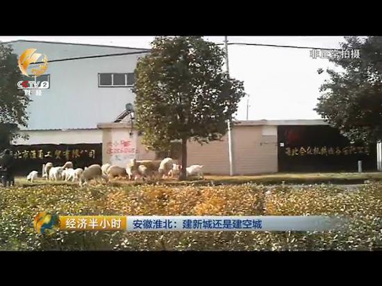 在一家工贸公司的厂房门口,有村民正在放羊。