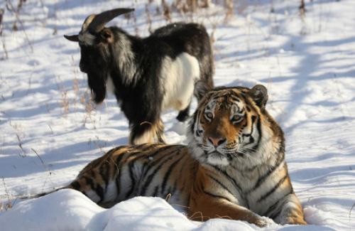 """这只山羊与老虎成了""""玩伴""""。"""
