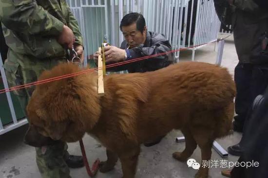 中国藏獒俱乐部在北京成立,马俊仁担任俱乐部主席。图为马俊仁为藏獒量身高。