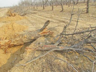 2014年枣树被挖走第二天的现场图片