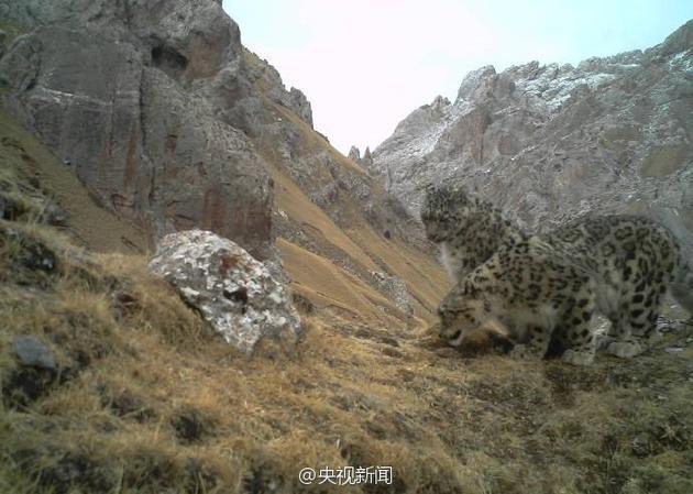 科研人员拍到野生雪豹求偶画面
