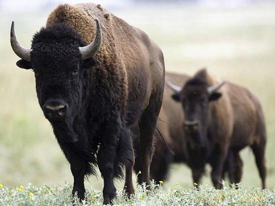 北美野牛。(图片来源:新华/路透)