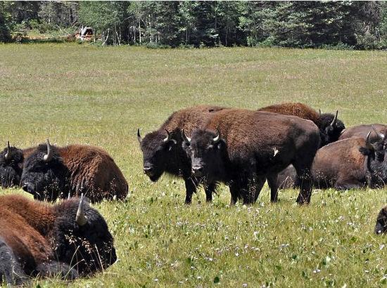 野牛群。(图片来源:新华/美联)