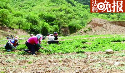 村民在种有玫瑰花的污染土地里除草 摄/记者 董振杰