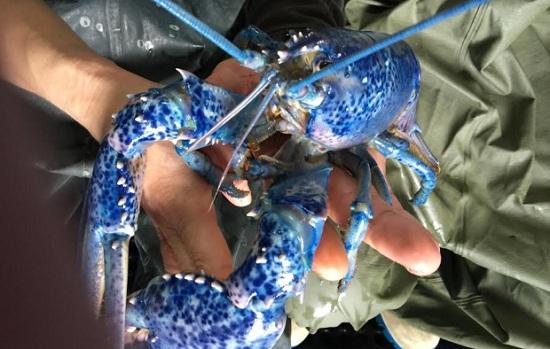 国外渔民接连捉到幸运蓝龙虾