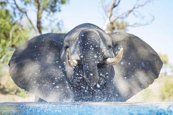 幼象池塘戏水。