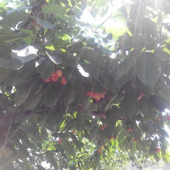 图为西马樱桃园区鲜艳欲滴的樱桃