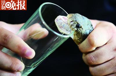 取眼镜蛇的毒液,这比黄金还贵每克近千元