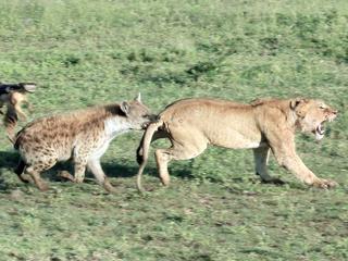 为争早餐 鬣狗咬住狮子尾巴