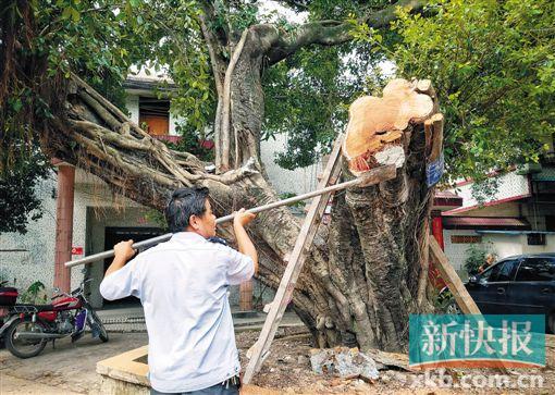 被撞断枝干的百年古树 新快报记者 彭程摄