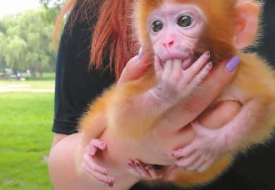 憨态可掬的小猴将手指含在嘴里 网友供图