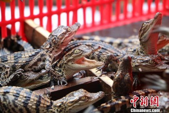 图为边防官兵翻开封装暹罗鳄鱼苗的篮筐。 何秋红 摄