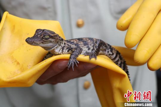 图为暹罗鳄鱼苗,大概刚诞生15天。 何秋红 摄