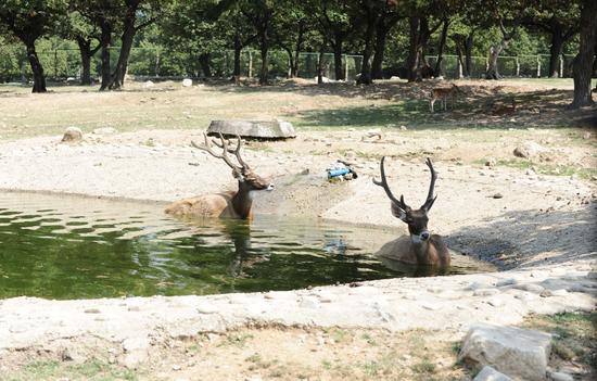 连日来西安持续37度以上高温天气,西安秦岭野生动物园内两只白唇鹿泡在水池中躲避高温。图/视觉中国