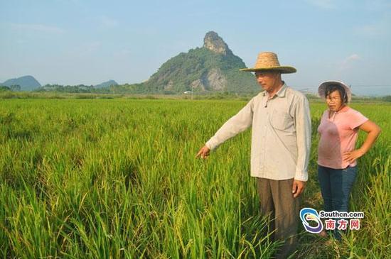 500亩杂交水稻过半减产早枯 村民:种粮有问题