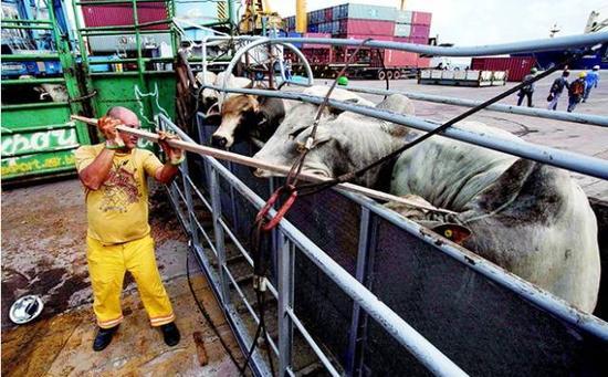 巴西莫茹等待装船出口的牛群(来源:CFP)
