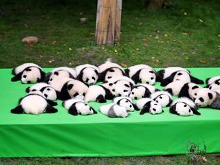 萌翻天!23只熊猫幼仔集体亮相
