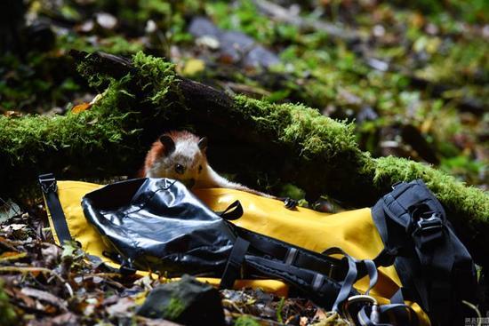 探险队员在天坑意外发现罕见飞猫(图)