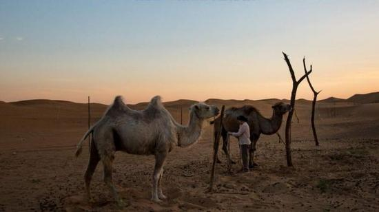 许多居民在腾格里沙漠的边缘放牧牲畜,或者经营小型观光园。但官员称,和气候变化一样,过度放牧也是导致沙漠不断扩大的一个因素。(美国《纽约时报》网站)