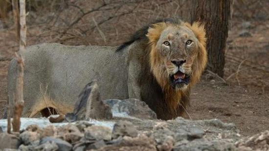 印度明星野生雄狮因年老去世 护林员禁食哀悼