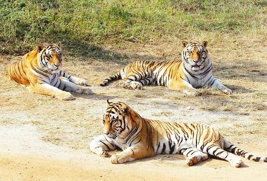 厦门海沧动物园老虎跑离猛兽区 特警出动(图)