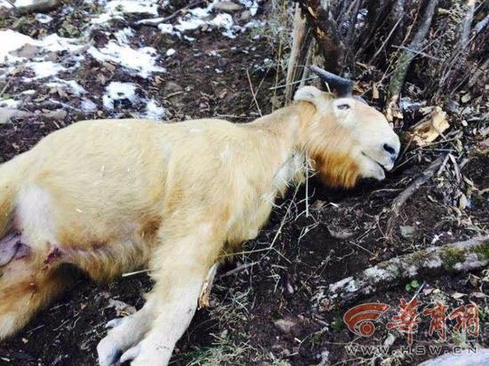 被勒死的野生羚牛