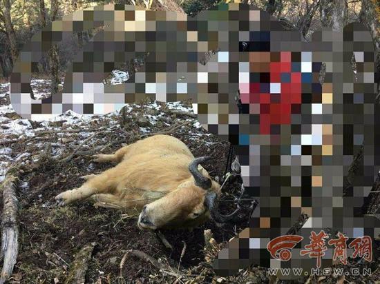 陕西秦岭保护区内野生羚牛疑遭人下套勒死(图)