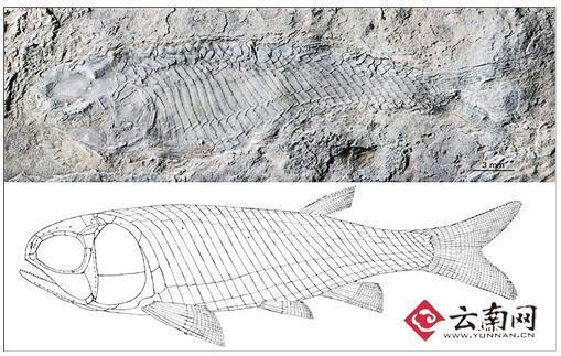 雌性标本和雌性标本复原图