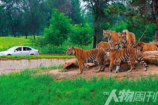 自驾游客在北京野生动物园的野兽生活区观看老虎.