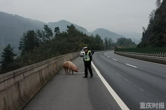 肥猪疑以叠罗汉方式从车上跳到高速路 司机被罚
