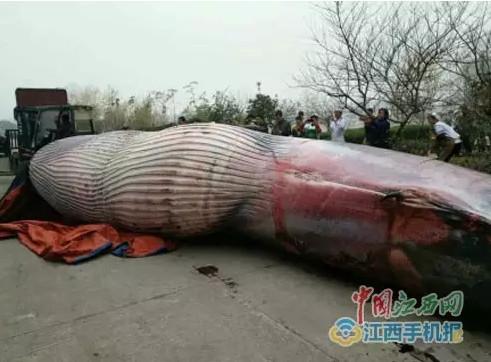 现场宰杀鲸鱼