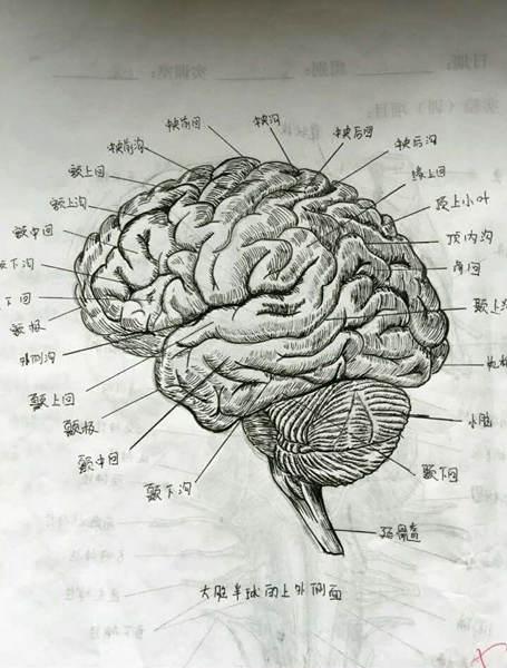 女大学生手绘逼真人体解剖图