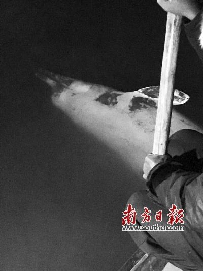 10日,在广东省江门开平市赤坎镇附近的浅滩上,工作人员对死亡的白海豚进行打捞。 新华社发