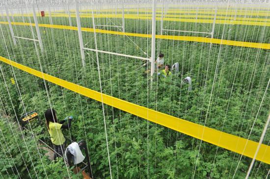2月15日,农业工人在智能温室内修剪蔬菜枝叶。