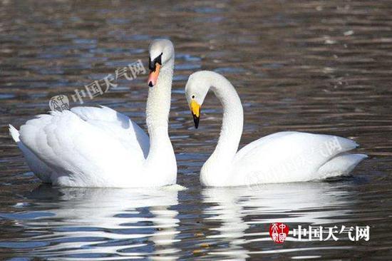北京气温回升,湖面融化,白天鹅悠然嬉戏。(关禺/图)