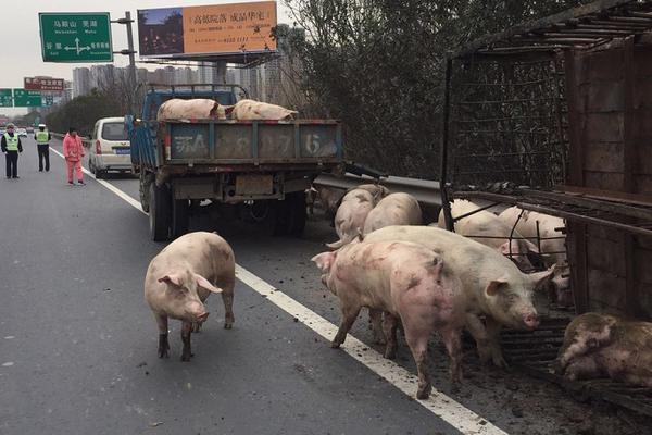 """高速成了""""养猪场"""" 40头猪乱窜引发堵车"""