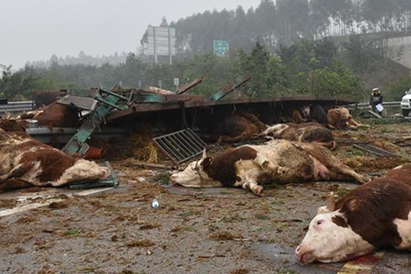 挂车高速上侧翻 48头牛被摔翻在地