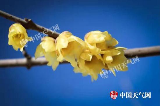 22日,北京花朵悄然绽放,在蓝天的映衬下格外美丽。(图/张永宁)