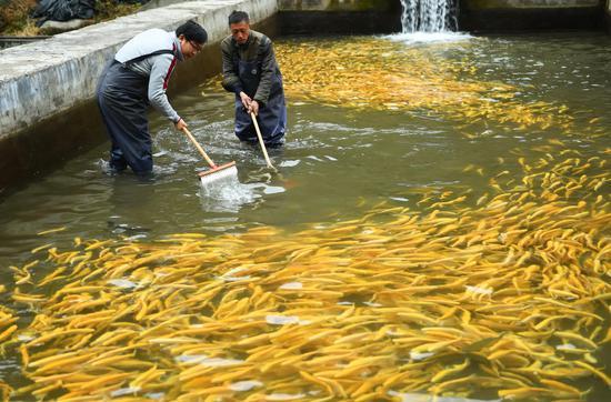 井冈山长坪乡长坪村,钟万银(右)跟着从广州返乡创业的李爱平一起在冷水鱼养殖基地里忙碌(2016年12月18日摄)。新华社记者 周密 摄