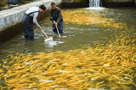 资料图片:井冈山村民在冷水鱼养殖基地里忙碌。新华社记者 周密摄
