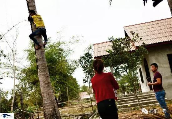 阿笋的弟弟爬上椰子树摘椰子。