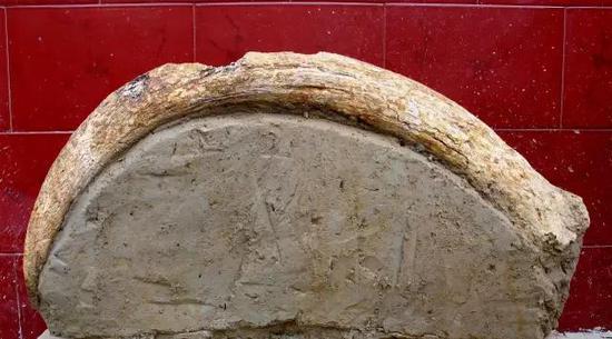 灵井遗址出土的原始牛角化石,现已灭绝,受访者供图