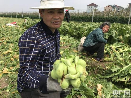 菜农正在收割榨菜
