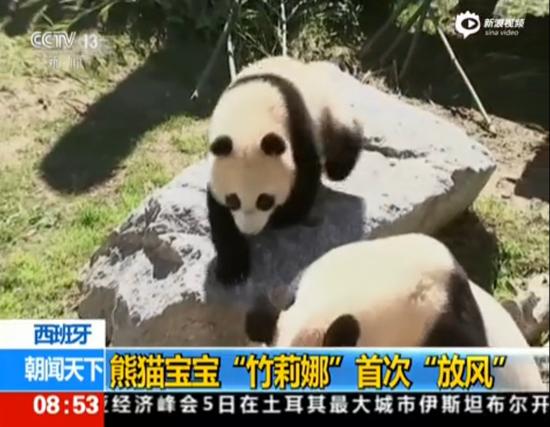 """萌化了!西班牙熊猫宝宝""""竹莉娜""""首次""""放风"""""""