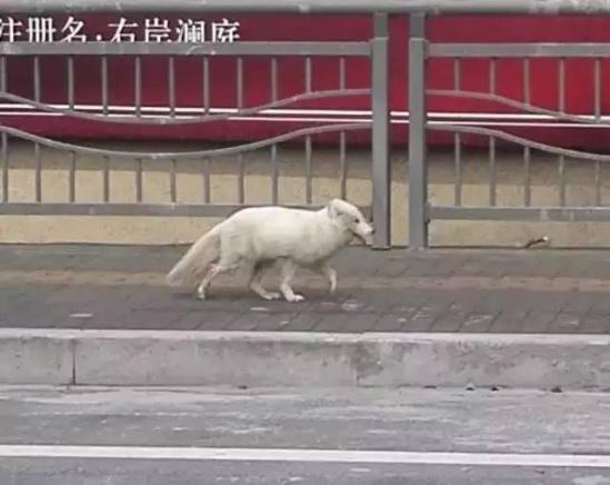 白狐闯入高中被赶跑 专家:血统纯正或来自北极