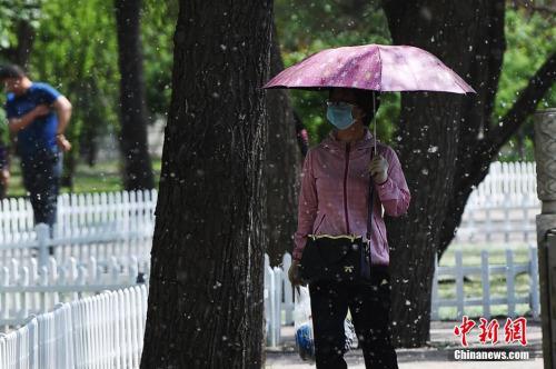 资料图:每逢春季,中国北方多地就会杨絮纷飞。武俊杰 摄