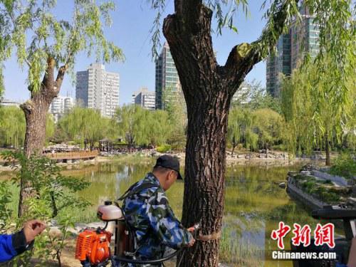 """2017年4月12日,工作人员在北京市柳荫公园为柳树""""打针""""治理飞絮。  中新网记者 张尼 摄"""