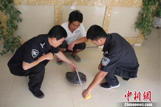 森林公安民警勘验鳄鱼龟壳。 常宗波 摄