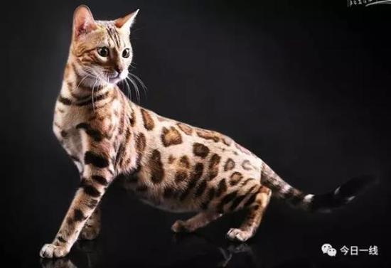 豹猫 资料图